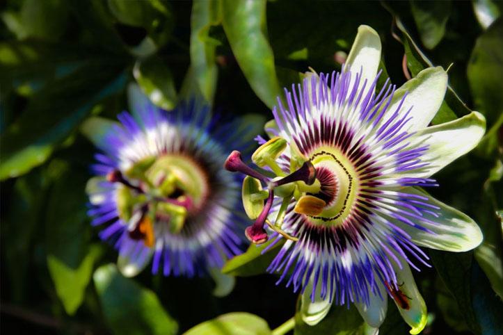 o que é passiflora incarnata